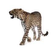 Luipaard die voor een witte achtergrond loopt royalty-vrije stock afbeelding
