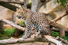 Luipaard die zich op de boom bevindt royalty-vrije stock foto's