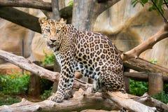 Luipaard die zich op de boom bevindt stock foto