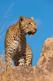 Luipaard die zich op de rots in savanne bevindt Stock Foto
