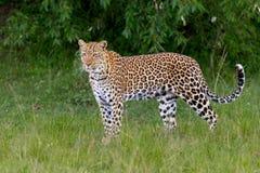 Luipaard die zich in Opheldering bevinden royalty-vrije stock foto's