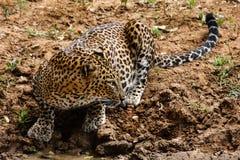 Luipaard, die zijdelings eruit zien stock afbeelding