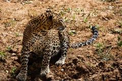 Luipaard, die zijdelings eruit zien royalty-vrije stock afbeelding