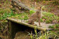 Luipaard in dierentuin Royalty-vrije Stock Fotografie