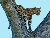 Luipaard in een boom Stock Afbeelding