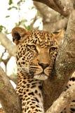 Luipaard in een boom Stock Fotografie