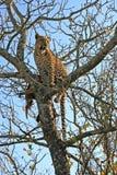 Luipaard in een boom met doden Stock Afbeeldingen