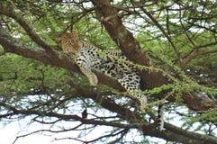 Luipaard in een boom in Nationaal Park Serengeti Royalty-vrije Stock Foto's