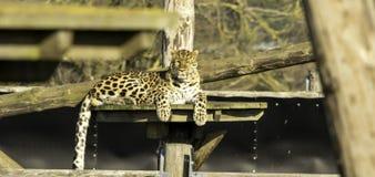 Luipaard stock afbeeldingen