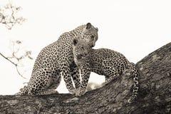 Luipaard en welp Stock Foto's