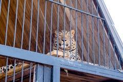 Luipaard in gevangenschap in een dierentuin achter de tralies Macht en agressie in de kooi stock afbeeldingen