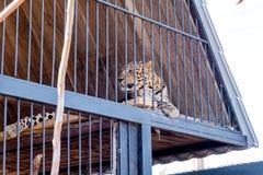 Luipaard in gevangenschap in een dierentuin achter de tralies Macht en agressie in de kooi royalty-vrije stock foto's