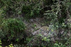 Luipaard in het bos stock foto