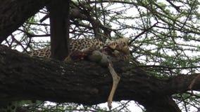 Luipaard het eten bidt stock video