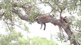 Luipaard het hangen van een boomtak met dode impalaprooi stock footage