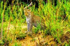Luipaard in het Hoge Gras langs de Olifant-Rivier in het Nationale Park van Kruger royalty-vrije stock afbeelding