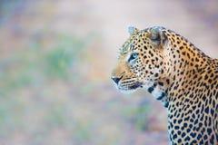 Luipaard het Kijken Stock Foto