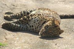 Luipaard het Uitglijden royalty-vrije stock afbeeldingen