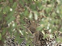 Luipaard het verbergen in de struiken stock foto