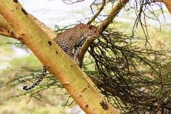 Luipaard het wachten prooi ambush op boom royalty-vrije stock afbeelding