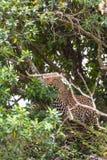 Luipaard het wachten prooi ambush Op tak royalty-vrije stock foto's