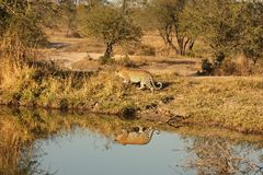 Luipaard in het Zand Sabi Royalty-vrije Stock Afbeeldingen