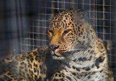 Luipaard in kooi, bevlekte panthera in dierentuin Stock Foto