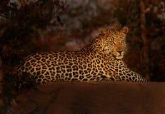 Luipaard in Laatste Lght Stock Foto's