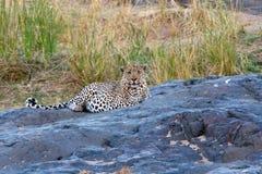 Luipaard, leopardo, pardus della panthera fotografia stock libera da diritti