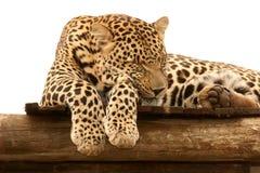 Luipaard mannelijke slaap Royalty-vrije Stock Fotografie