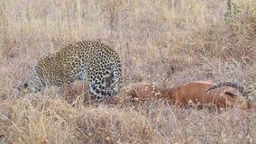 Luipaard met prooi stock videobeelden