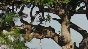 Luipaard met welpen het voeden stock footage