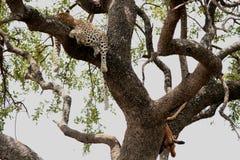 Luipaard met zijn prooi Royalty-vrije Stock Afbeeldingen