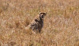 Luipaard in Ngorongoro N.P. Stock Foto