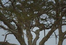 Luipaard omhoog hoog in boom, die linker kijken royalty-vrije stock afbeeldingen