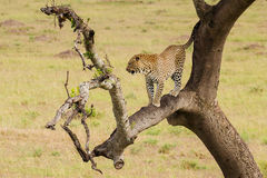 Luipaard onderaan de boom aan de grond Stock Foto