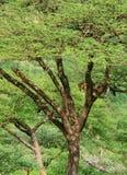 Luipaard op de boom Stock Afbeelding