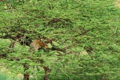 Luipaard op de boom Stock Afbeeldingen