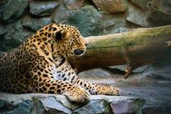 Luipaard op de rots Stock Afbeelding