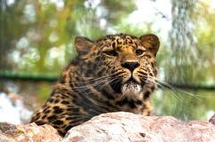 Luipaard op de rots Stock Foto's