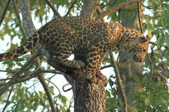 Luipaard op een boom Stock Foto
