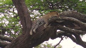 Luipaard op een boom van Ndutu stock footage