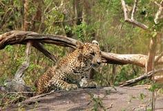 Luipaard op een Steen in Bush Royalty-vrije Stock Afbeelding