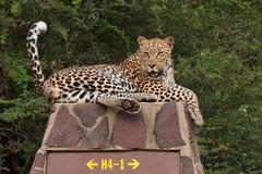 Luipaard op verkeersteken royalty-vrije stock foto's