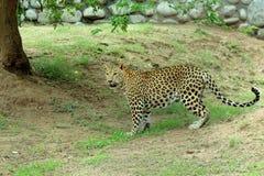 luipaard & x28; Panthera Pardus& x29; bevindend volledig lichaamsportret in aard Stock Foto