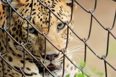 luipaard & x28; Panthera Pardus& x29; het staren het portret van de ogenkooi Royalty-vrije Stock Foto's