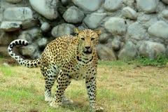 luipaard & x28; Panthera Pardus& x29; het staren portret in aard Stock Fotografie