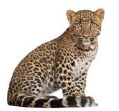 Luipaard, Panthera pardus, het zitten stock afbeeldingen