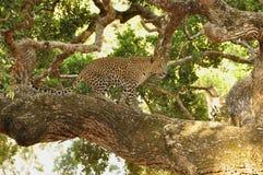 Luipaard, Sri Lankan (Panthera-parduskotiya) royalty-vrije stock afbeeldingen