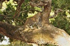 Luipaard, Sri Lankan (Panthera-parduskotiya) royalty-vrije stock foto